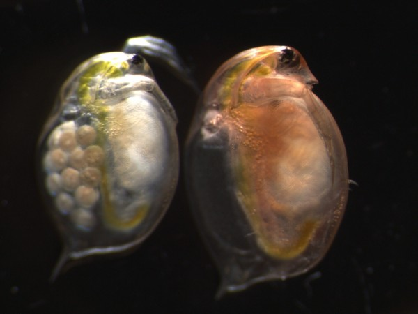 an experiment to determine the pregnancy of daphnia magna