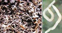 в грунте с рассадой червячки отлично впитывает